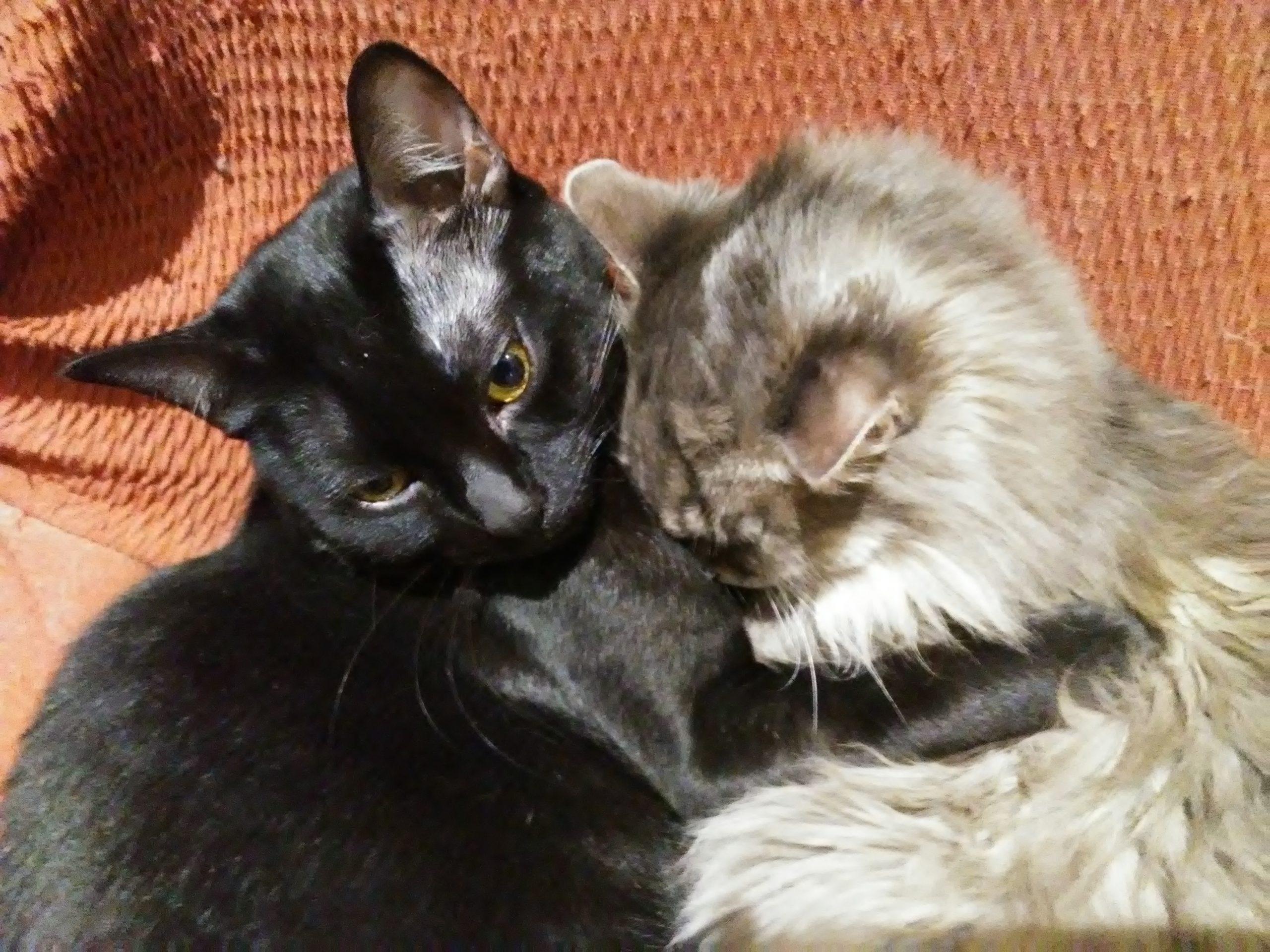 preciosa gatita persa de 21 años y panterita -