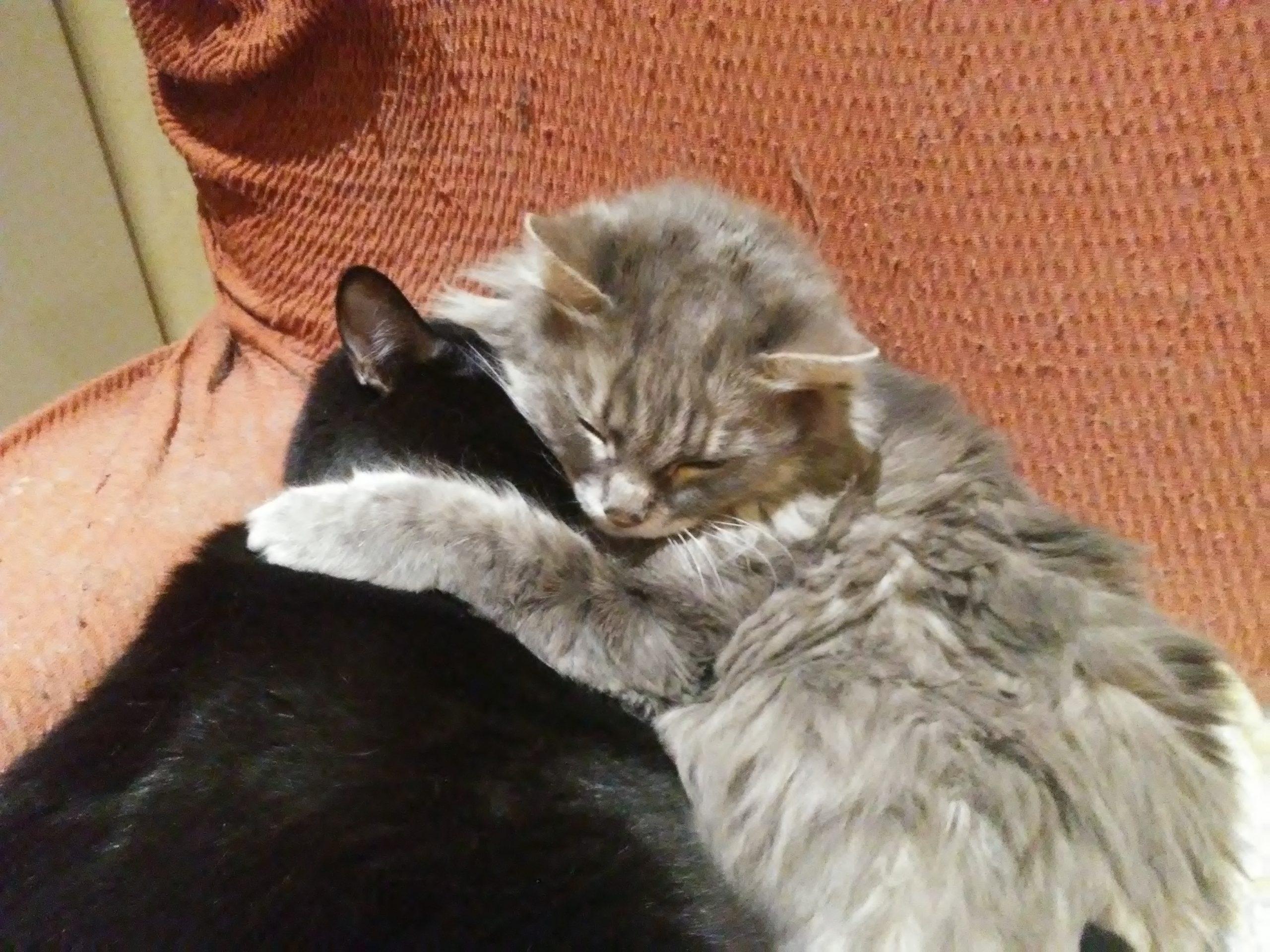 preciosa gatita persa de 21 años y panterita